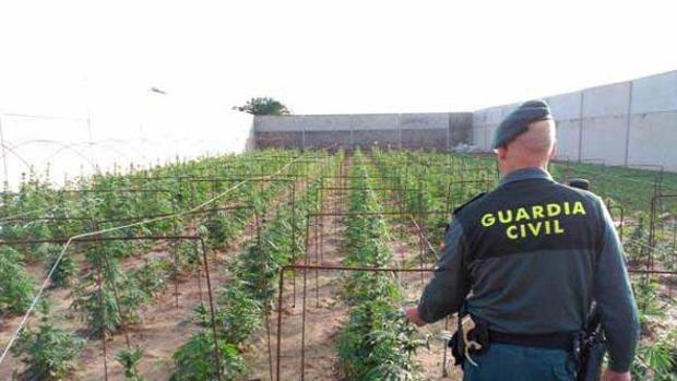 Un agente de la Guardia Civil ante una plantación de marihuana intervenida en la provincia