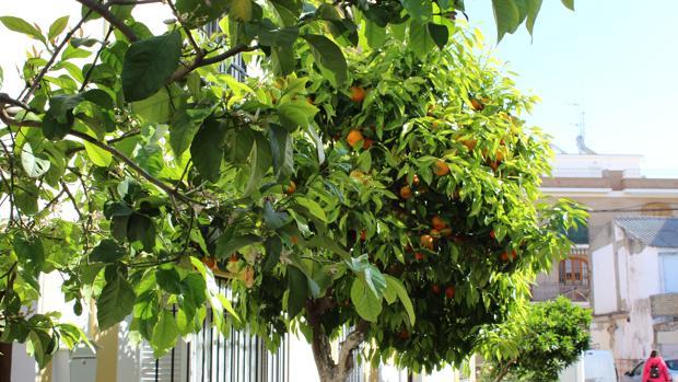 En muchos naranjos de Utrera todavía no se han recogido todos sus frutos