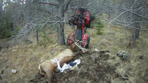 Un cazador queda empalado por el alce que acababa de matar