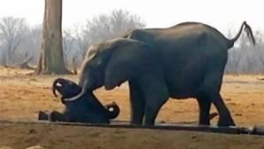 Así salvó un elefantes a una cría que estaba siendo acechada por leones
