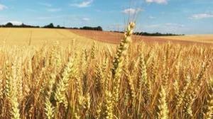 El trigo empeora los síntomas de la esclerosis múltiple y otras enfermedades autoinmunes
