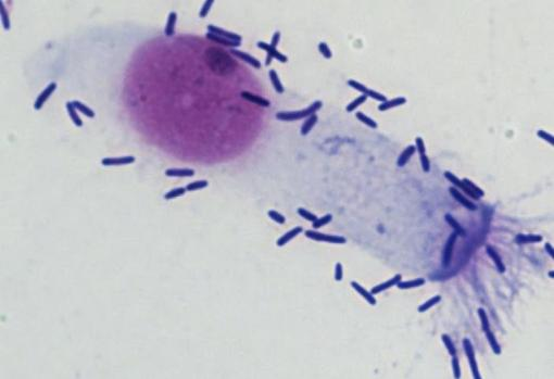 Unión de neumococos a una célula del revestimiento nasal