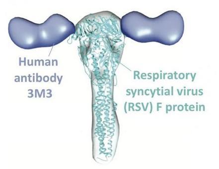 Anticuerpo humano 3M3 del VRS