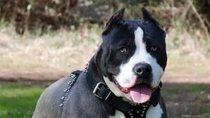 Los diez perros potencialmente peligrosos más frecuentes en Sevilla