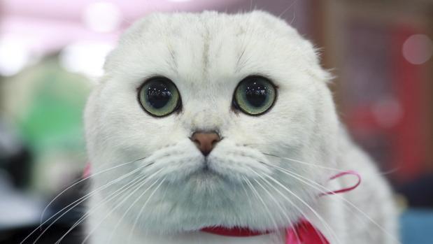 Gato de la raza Fold escocés