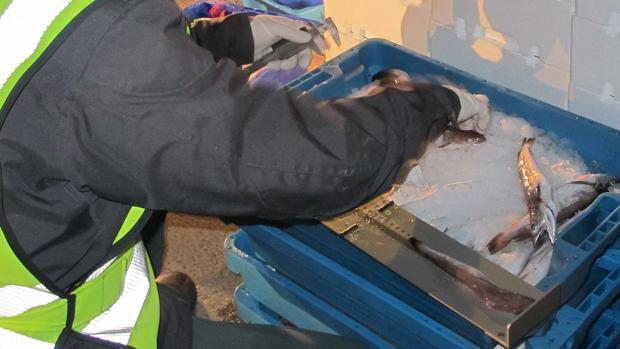 La merluza intervenida en este dispositivo de la Guardia Civil e Inspección pesquera de la Junta