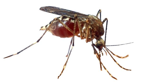 La expansión del mosquito tigre en España sigue creciendo