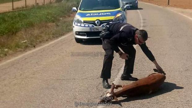 El agente desata a la cabra tendida en la carretera