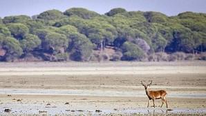 Un ciervo paseando por la marismas del Parque Nacional de Doñana (Huelva)
