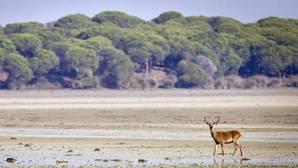 Un ciervo paseando por la marismas del Parque Nacional de Doñana (Huelva), Patrimonio de la Humanidad y Reserva de la Biosfera,