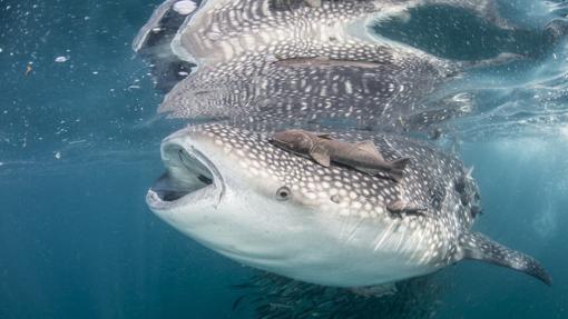 Tiburón ballena, en la isla de Holbox